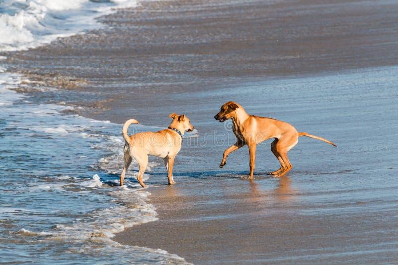 Due cani si accolgono sulla spiaggia fotografia stock libera da diritti