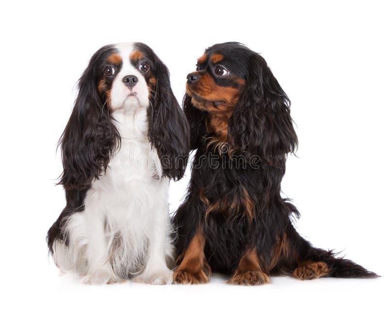 Due cani sprezzanti dello Spaniel di re Charles immagine stock libera da diritti