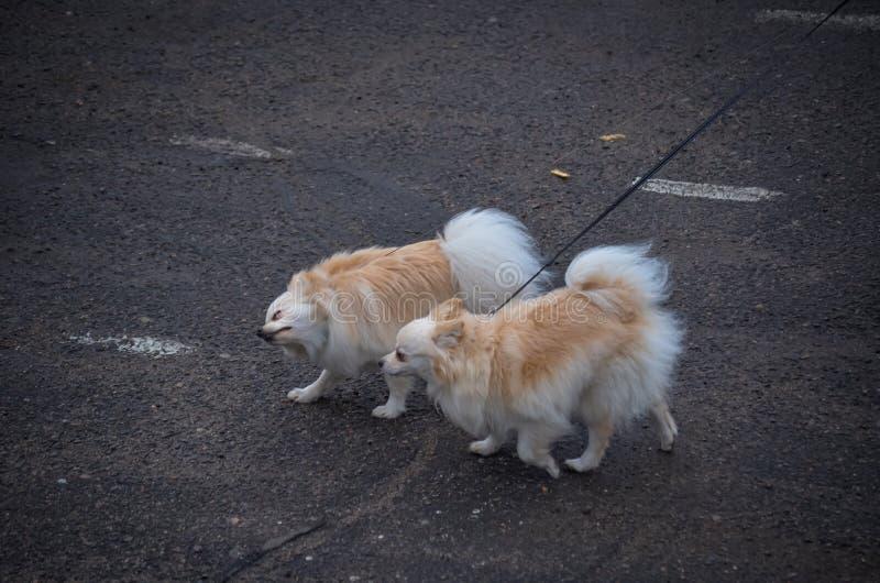 Due cani svegli della razza della chihuahua stanno correndo lungo una strada asfaltata sui guinzagli verso il vento Piccolo espos fotografia stock