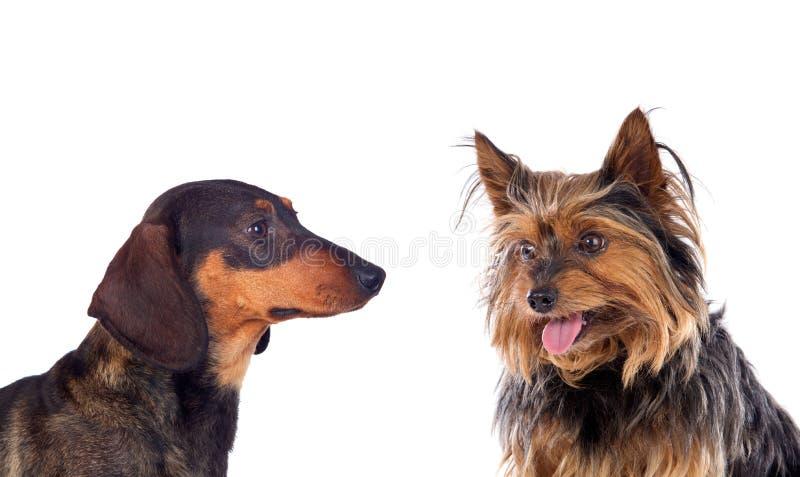 Due cani un Yorkshire e un Tekel immagine stock libera da diritti