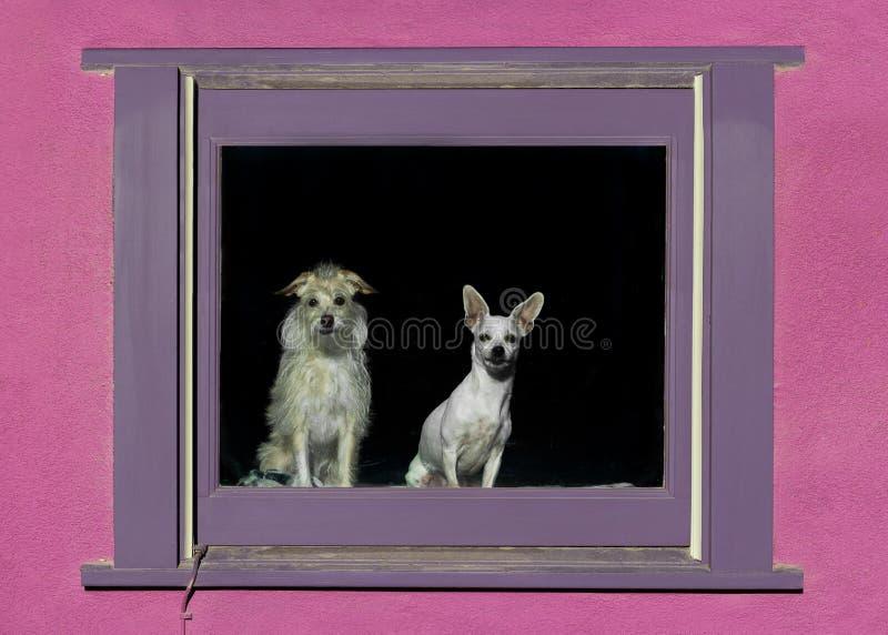Due cani in una finestra fotografie stock libere da diritti