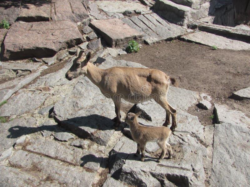 Due capre nello zoo di Mosca fotografie stock libere da diritti