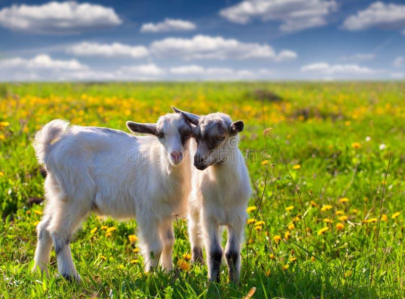 Due capre su un prato inglese verde fotografia stock