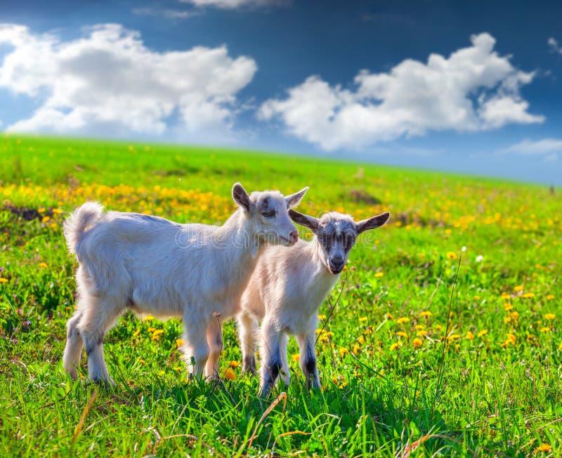 Due capre su un prato inglese verde fotografie stock