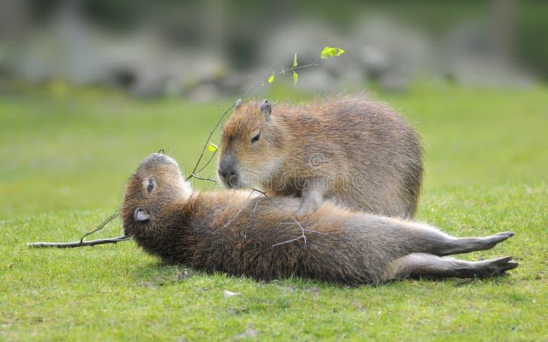 Due capybaras su erba fotografie stock libere da diritti