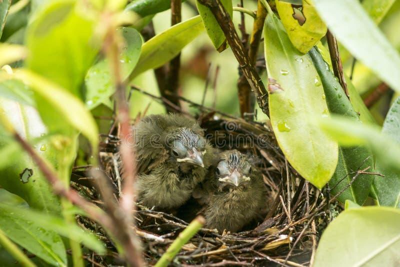 Due cardinali anziani di nove giorni nel loro nido degli uccelli immagine stock libera da diritti