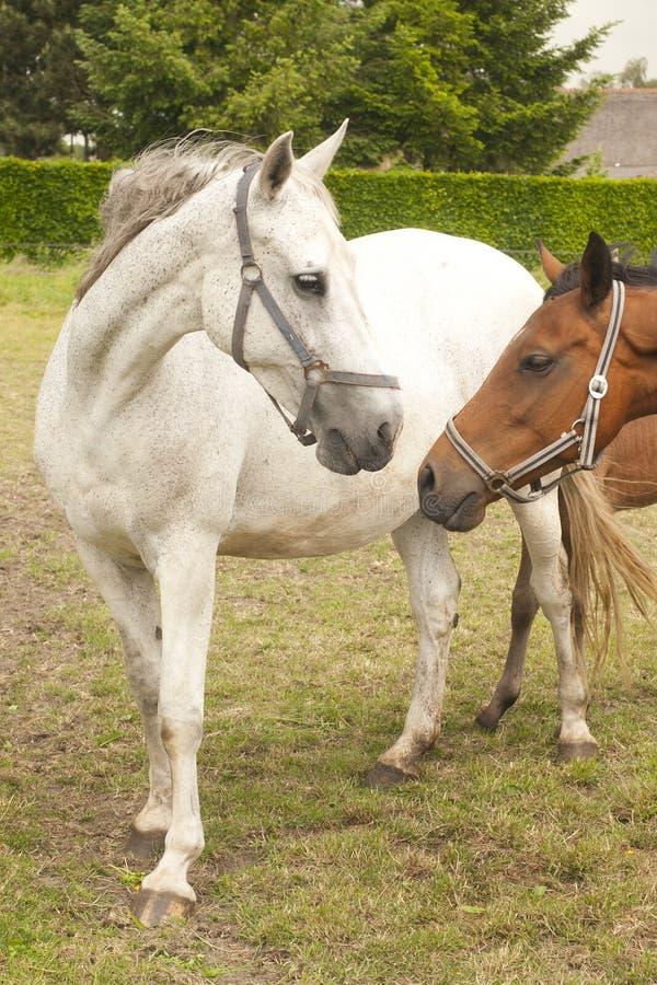 Due cavalli immagini stock
