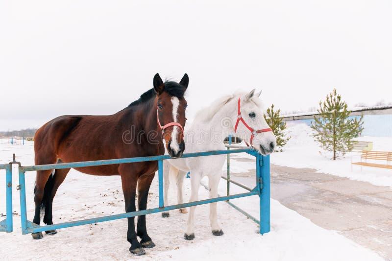 Due cavalli amichevoli curiosi nel recinto chiuso, stante su un recinto rustico del metallo, scrutante nella macchina fotografica fotografia stock