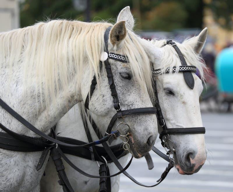 Due cavalli bianchi immagini stock