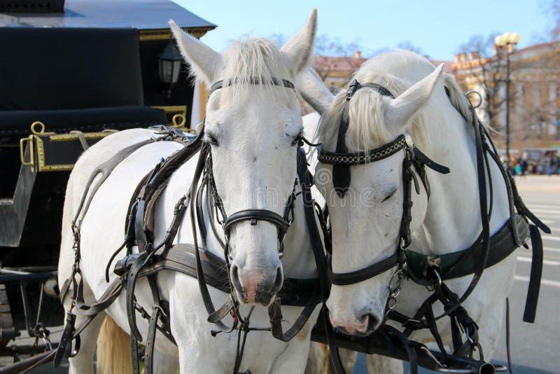 Due cavalli bianchi in cablaggio immagini stock