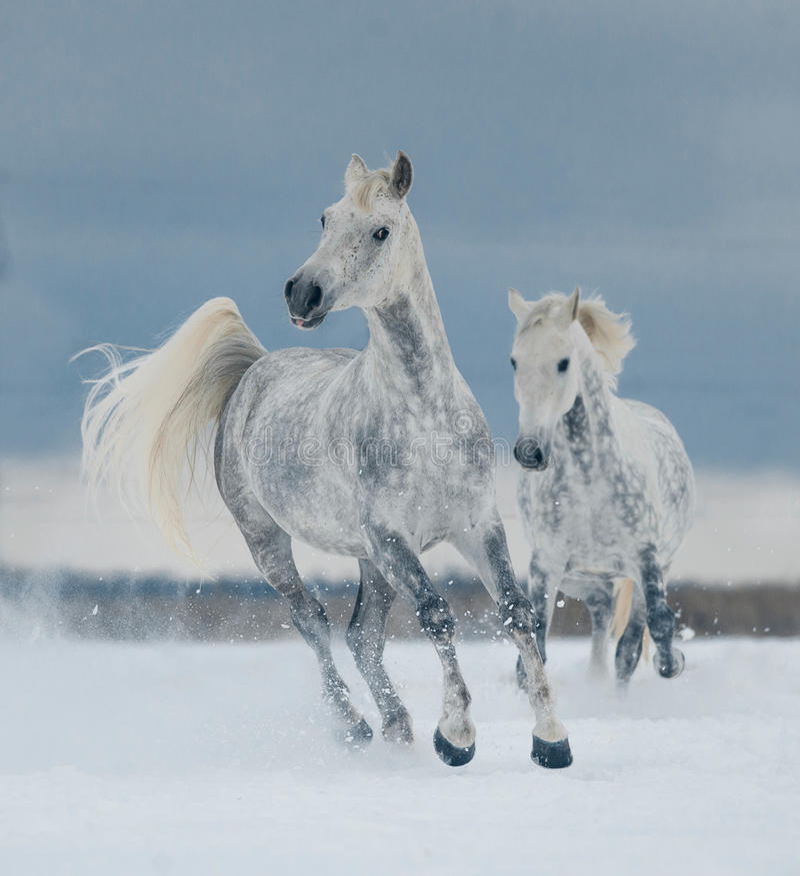 Due cavalli bianchi che corrono liberamente nella neve immagine stock libera da diritti
