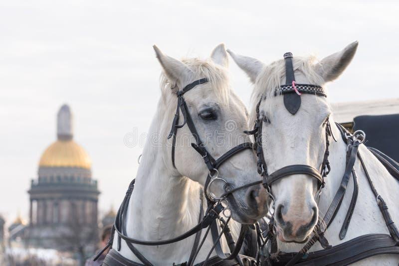 Due cavalli bianchi si amano a St Petersburg sui precedenti della cattedrale della st Isaac fotografie stock libere da diritti