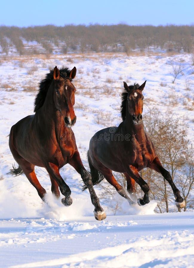 Due cavalli che galoppano nel campo fotografia stock