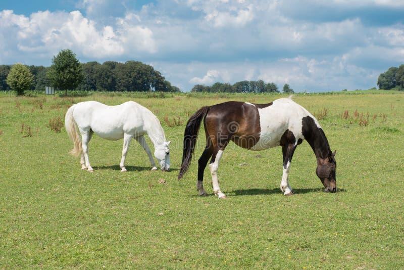Due cavalli che mangiano sul prato prima del cielo blu fotografia stock libera da diritti