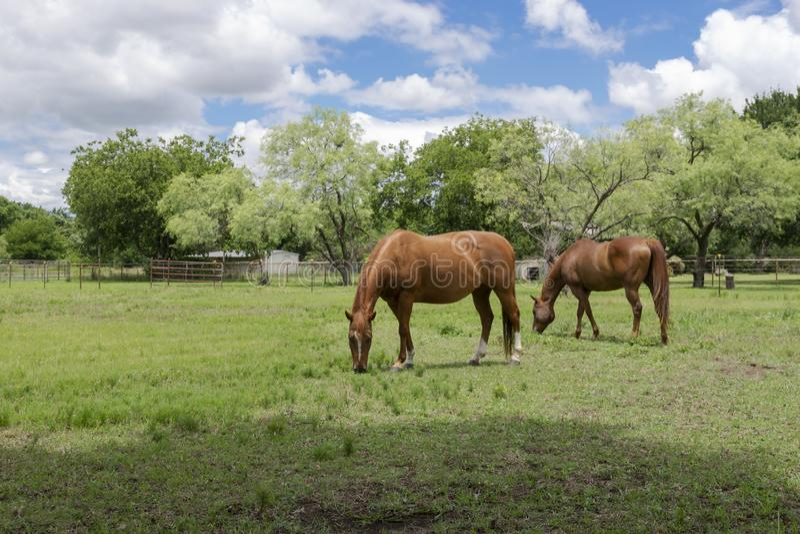 Due cavalli che pascono sull'erba in un prato del ranch fotografia stock