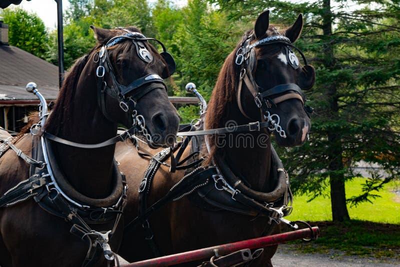 Due cavalli che puliscono un trasporto trainato da cavalli fotografia stock