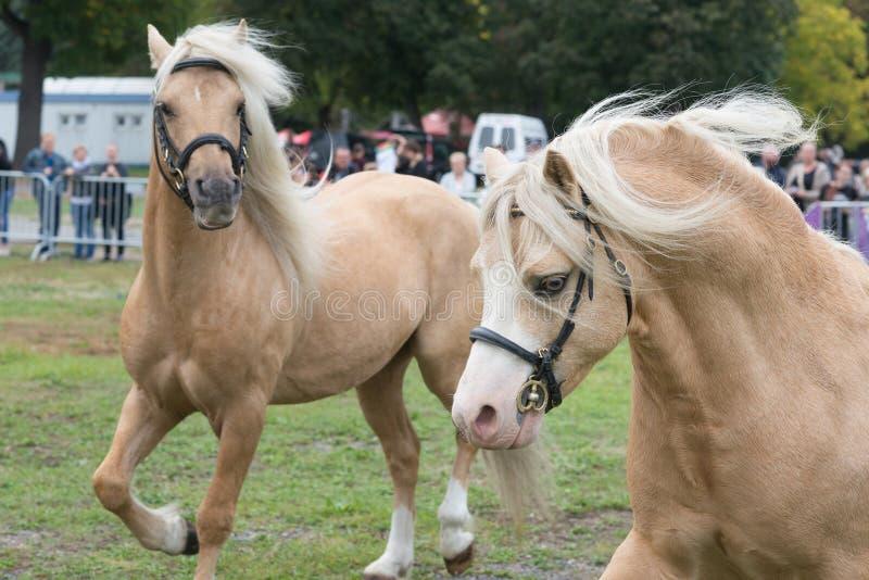 Due cavalli del palomino della pannocchia del cavallino di lingua gallese sulla manifestazione equestre nel funzionamento fotografia stock libera da diritti