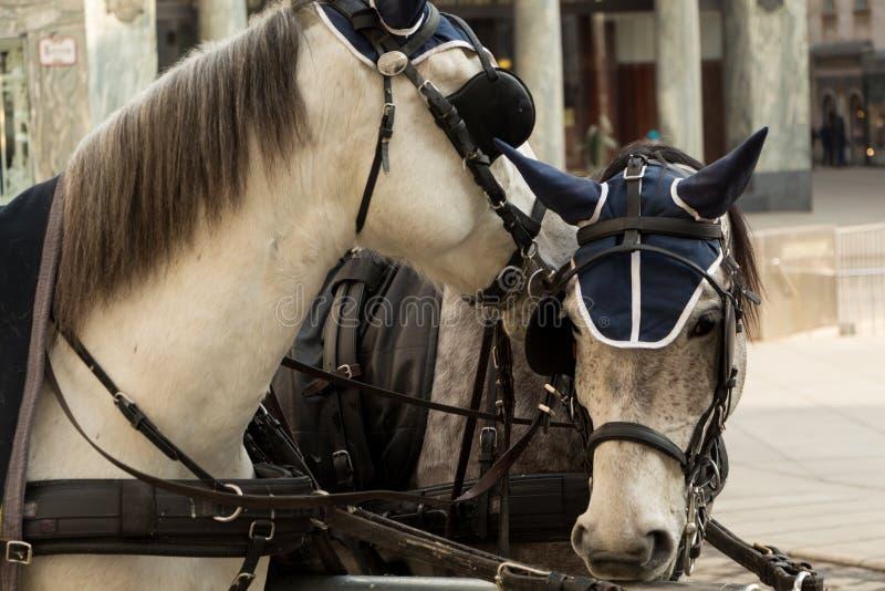 Due cavalli in paraocchi e nel horsecloth immagini stock libere da diritti