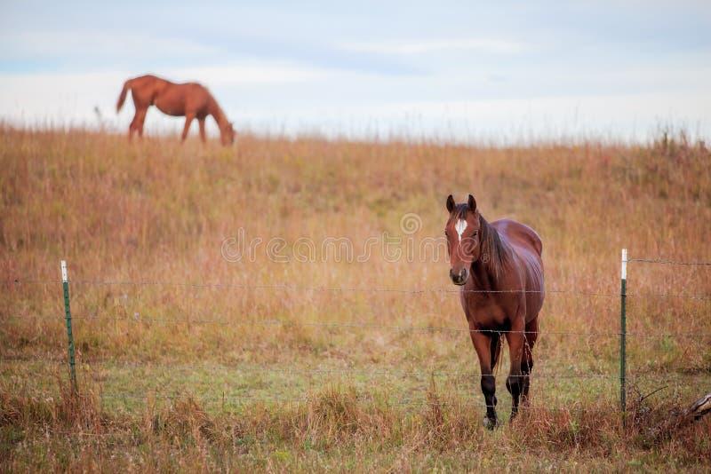 Due cavalli quarti in pascolo fotografia stock libera da diritti