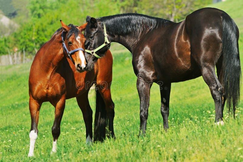 Due cavalli sul pascolo immagini stock