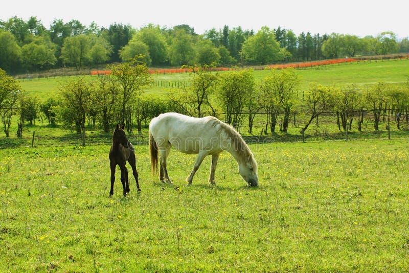 Due cavalli, una cavalla e un puledro in primavera fotografia stock libera da diritti