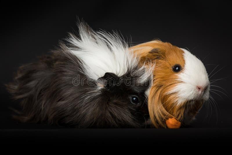 Due cavie che mangiano una carota fotografia stock libera da diritti
