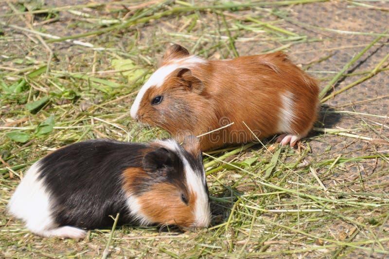 Due cavie (porcellus di cavia) fotografia stock