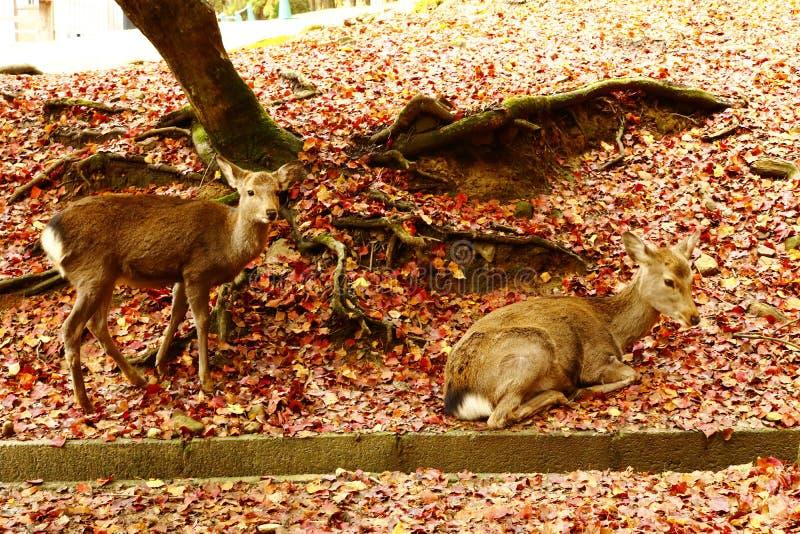 Due cervi selvaggi a Nara fotografia stock libera da diritti