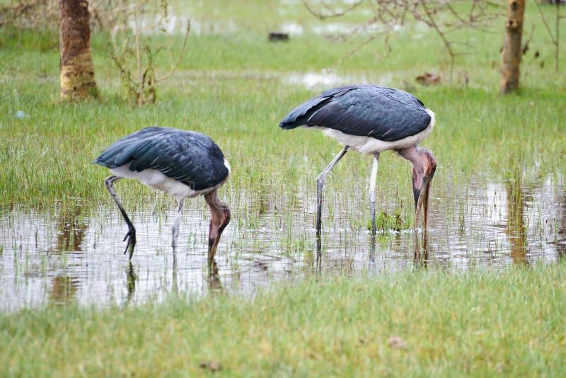 Due cicogne di marabù che alimentano la zona umida fotografia stock libera da diritti