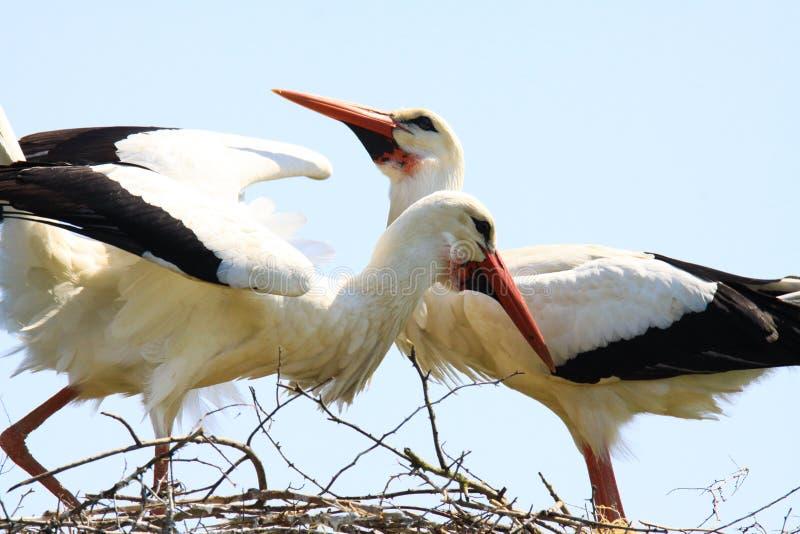 Due cicogne in un nido su un albero immagine stock libera da diritti