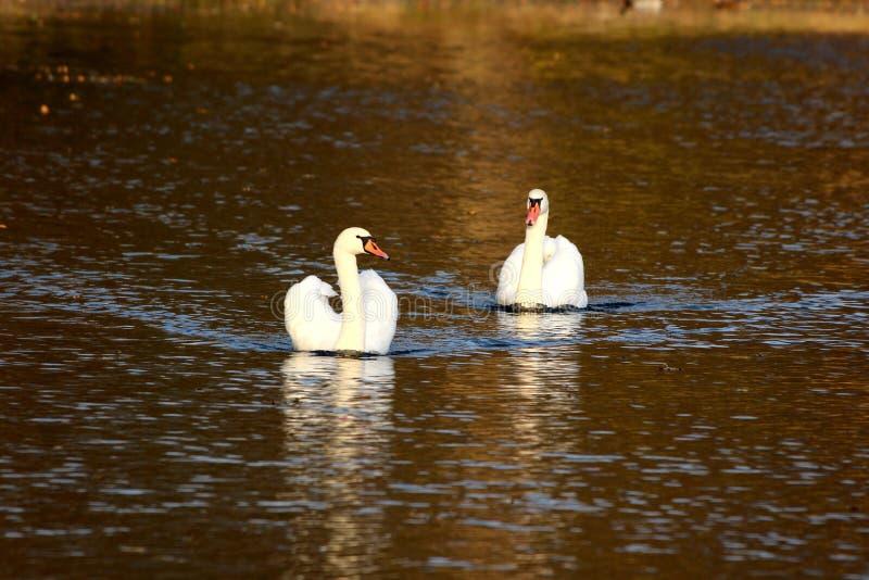 Due cigni bianchi che nuotano pacificamente nel mezzo del fiume calmo che crea le ondulazioni su superficie immagini stock libere da diritti