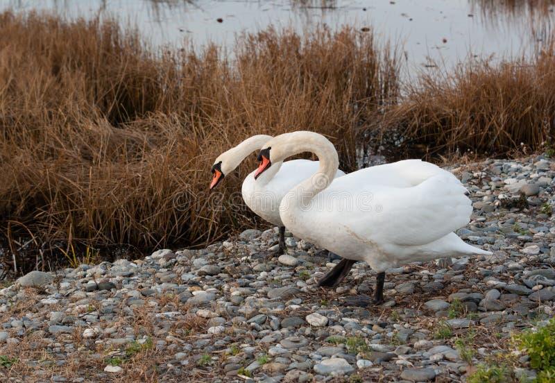 Due cigni bianchi vicino ad una palude d'acqua salata fotografie stock libere da diritti