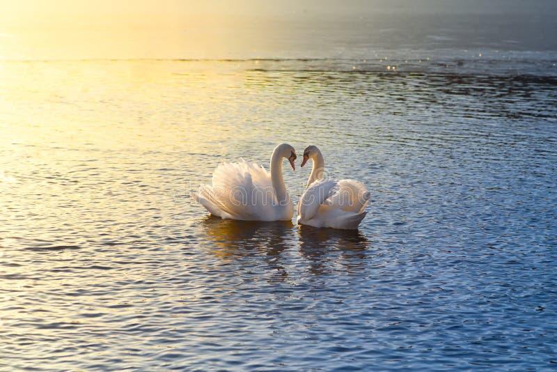 Due cigni che formano un cuore fotografia stock