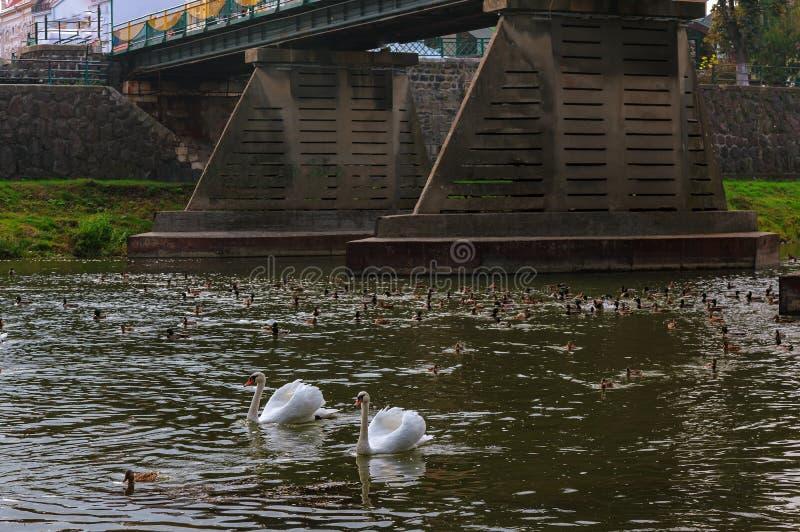 Due cigni che nuotano insieme su un fiume tranquillo in autunno fotografia stock libera da diritti