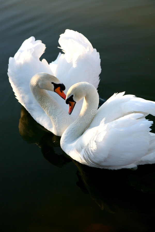 Due cigni di amore