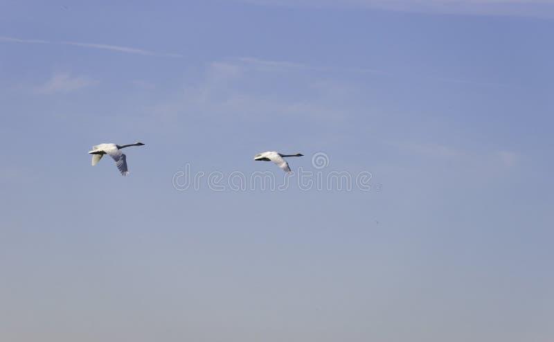 Due cigni di trombettista che volano su attraverso un cielo blu giusto, backgrou immagine stock libera da diritti