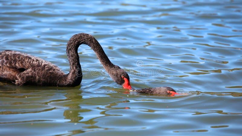 Due cigni neri nel lago fotografia stock