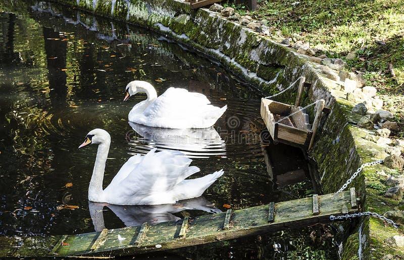 Due cigni su acqua immagine stock libera da diritti