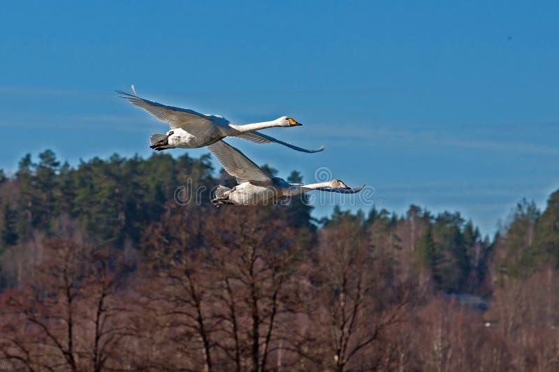Due cigno selvatico, volo del cygnus del Cygnus immagini stock