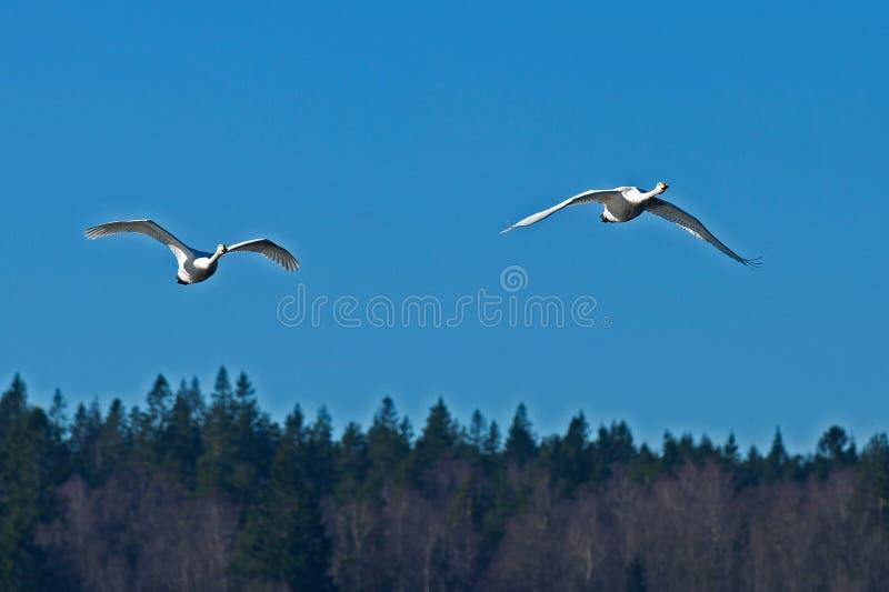 Due cigno selvatico, volo del cygnus del Cygnus immagini stock libere da diritti