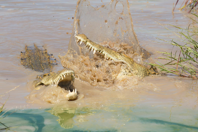 Due coccodrilli che combattono, Sudafrica di Nilo immagine stock