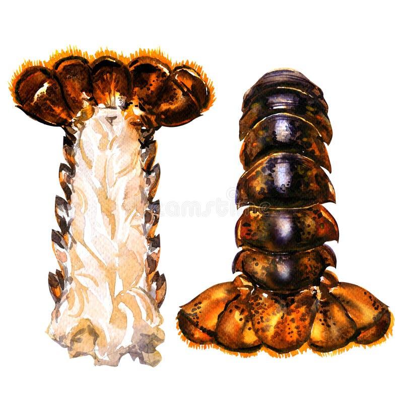 Due code, tutto e metà crudi di aragosta con carne, frutti di mare freschi, illustrazione isolata e disegnata a mano dell'acquere royalty illustrazione gratis