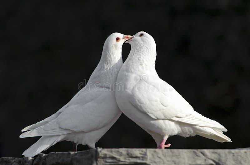 Due colombe bianche di amore immagine stock libera da diritti