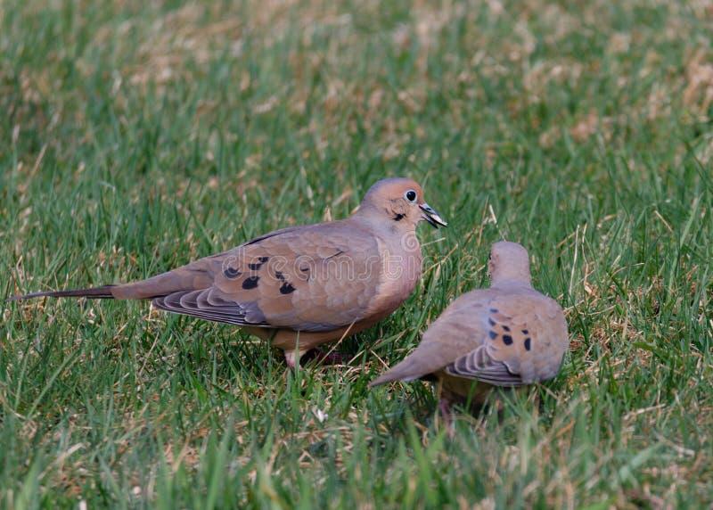 Due colombe di dolore, macroura di Zenaida fotografia stock libera da diritti