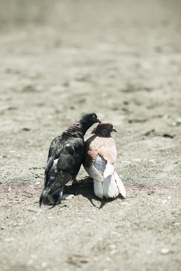 Due colombe nell'amore sulla spiaggia di sabbia fotografie stock