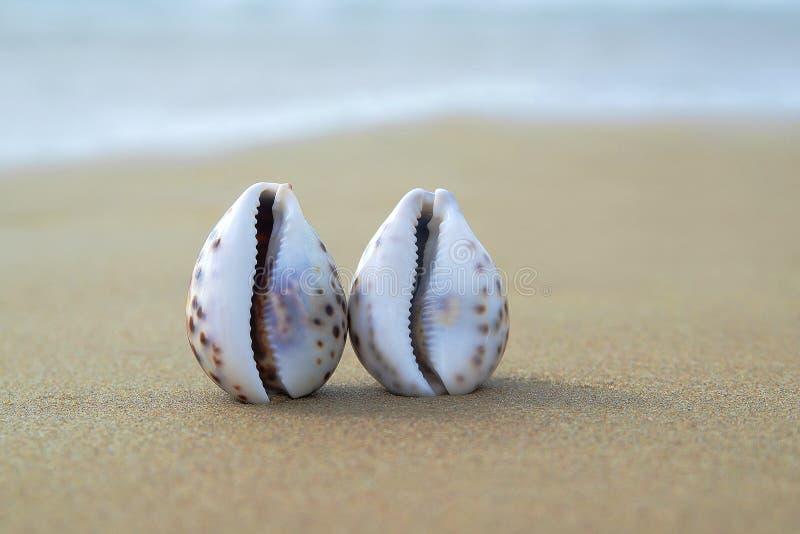 Due conchiglie nella sabbia come concetto di amore dello stesso sesso immagini stock