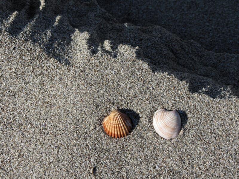 Due conchiglie sulla sabbia Priorità bassa della spiaggia di estate Vista superiore fotografia stock libera da diritti