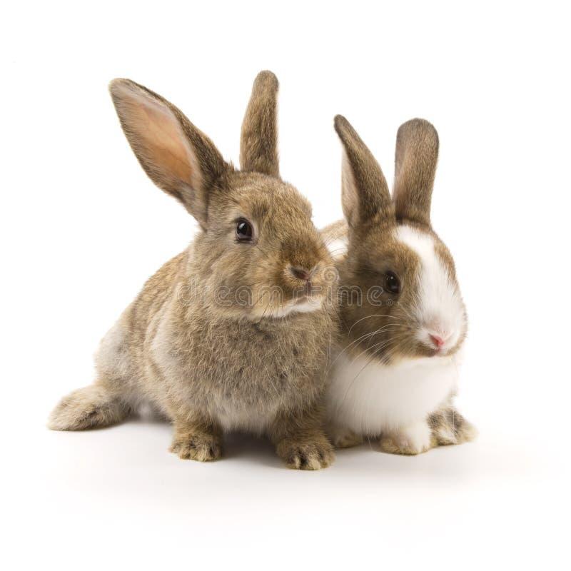 Due conigli adorabili fotografia stock