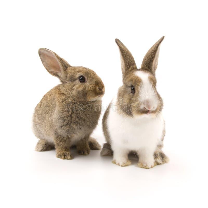 Due conigli adorabili immagine stock libera da diritti