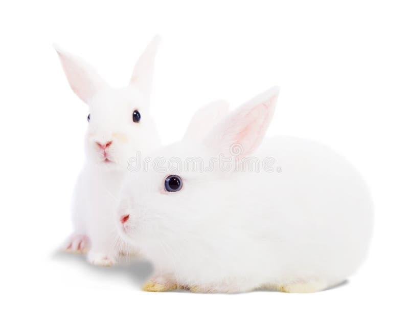 Due conigli bianchi fotografia stock libera da diritti